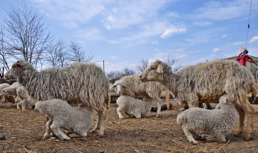 Some sheep from Iormughanlo (Mari Nikuradze)